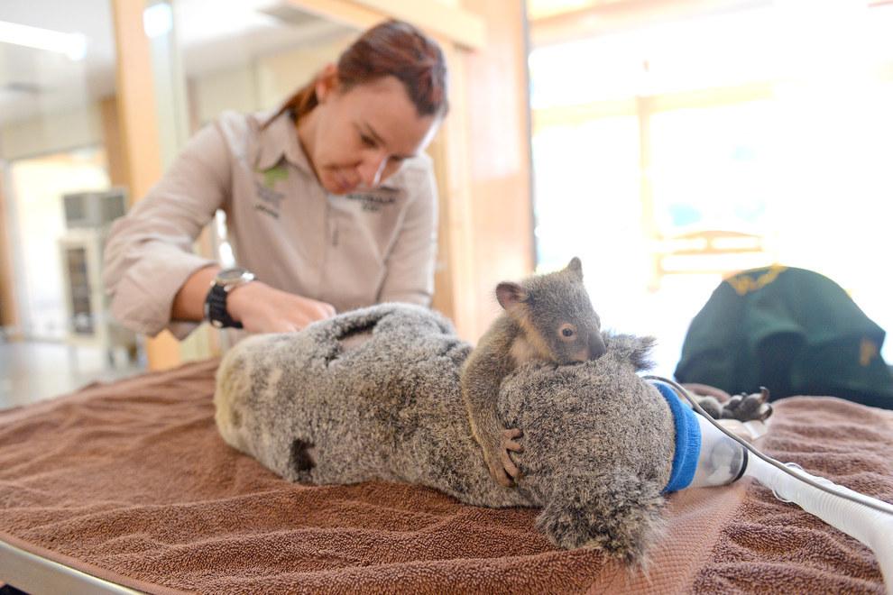 Imágenes impactantes de este Bebé Koala abrazando su madre durante toda la operación