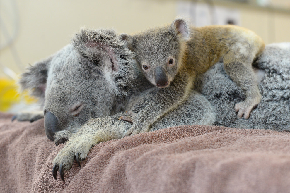 bebe koala 02