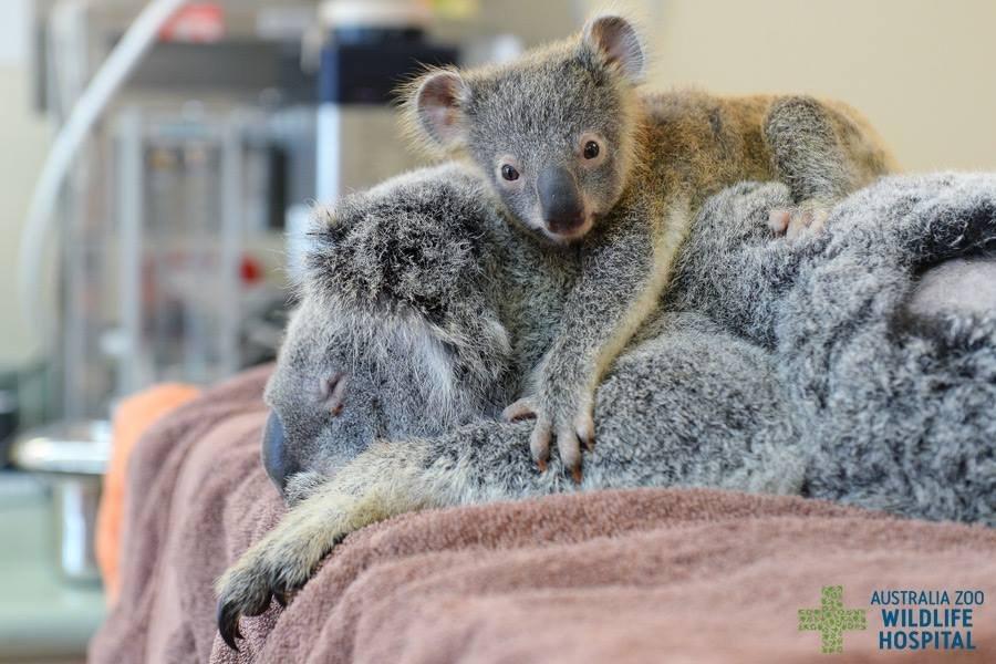 bebe koala 04