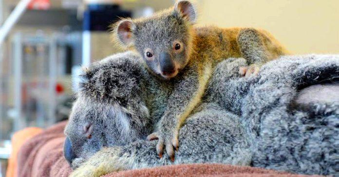 bebe koala banner