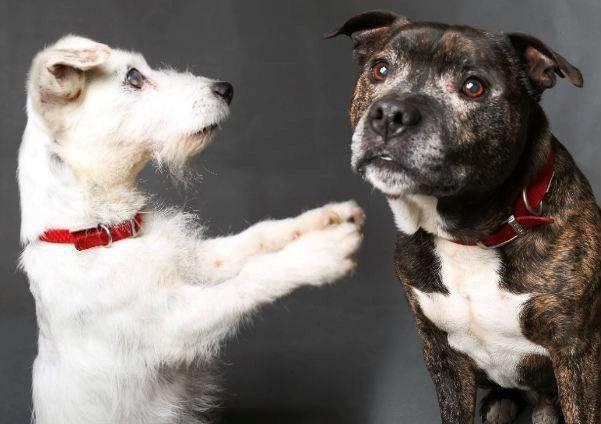 Este Jack Russel Ciego tiene su propio Perro Guía y necesitan un nuevo hogar