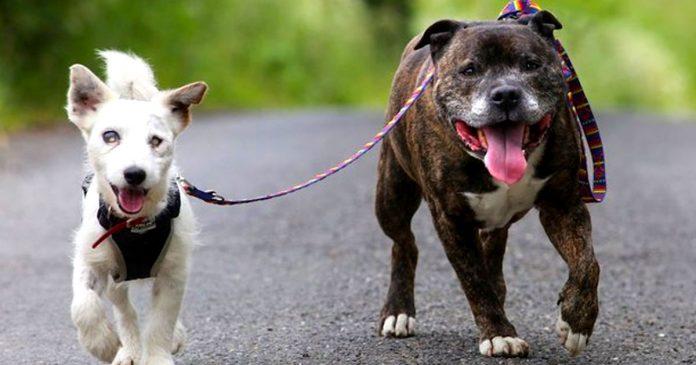 Jack Russel ciego con perro guía