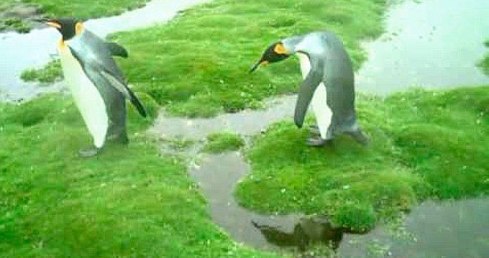 Pinguinos torpes se enfrantan a un dilema