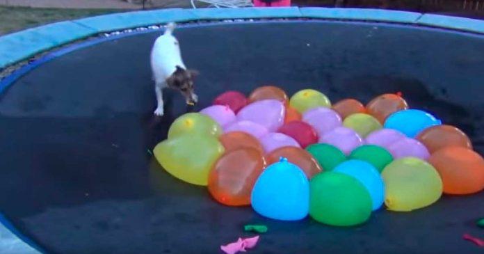 Dieron a su perro algunos globos de agua y este fue el resultado