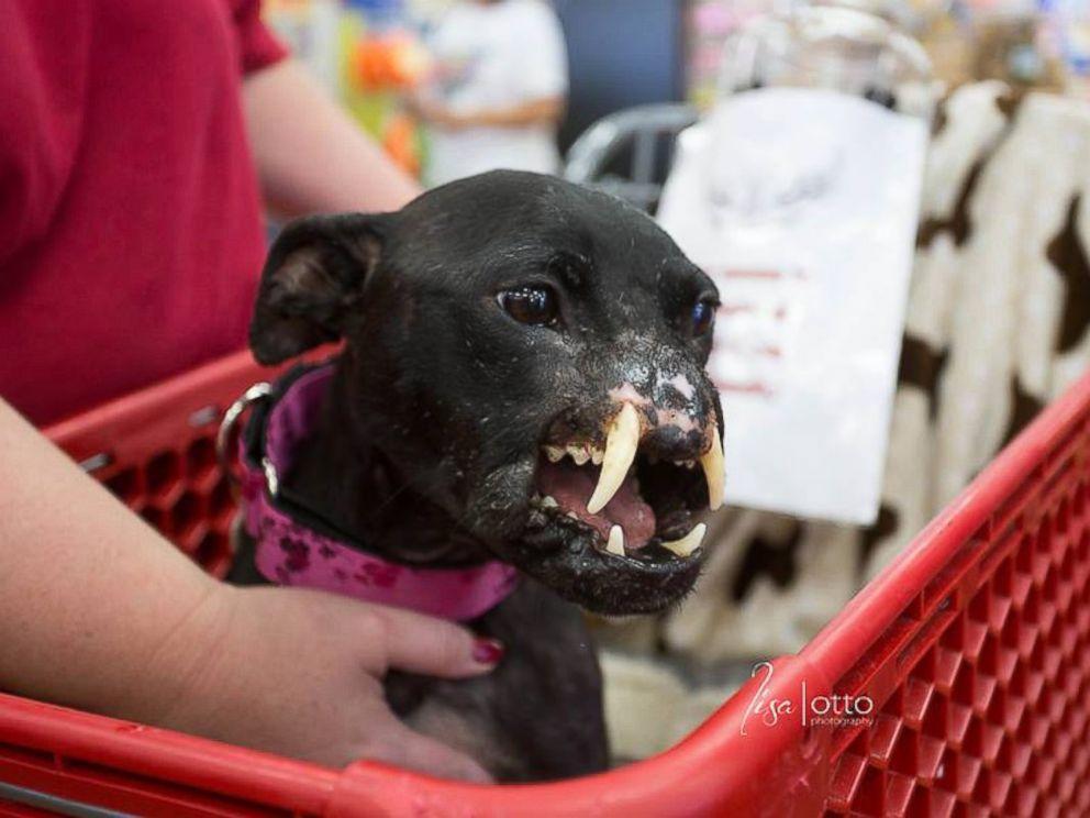 Este cachorro de Pitbull sufrió un brutal abuso y ahora lucha por salvarse