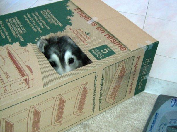 Esta husky fue criada por gatos y ahora no sabe como ser un perro de verdad