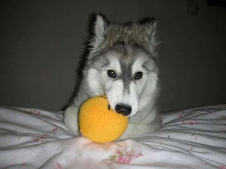 Esta husky fue criada por gatos y ahora no sabe como ser un perro de verdad 11