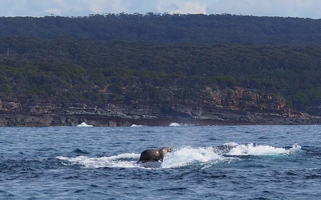 Una mujer fotografia foca montando ballena increible