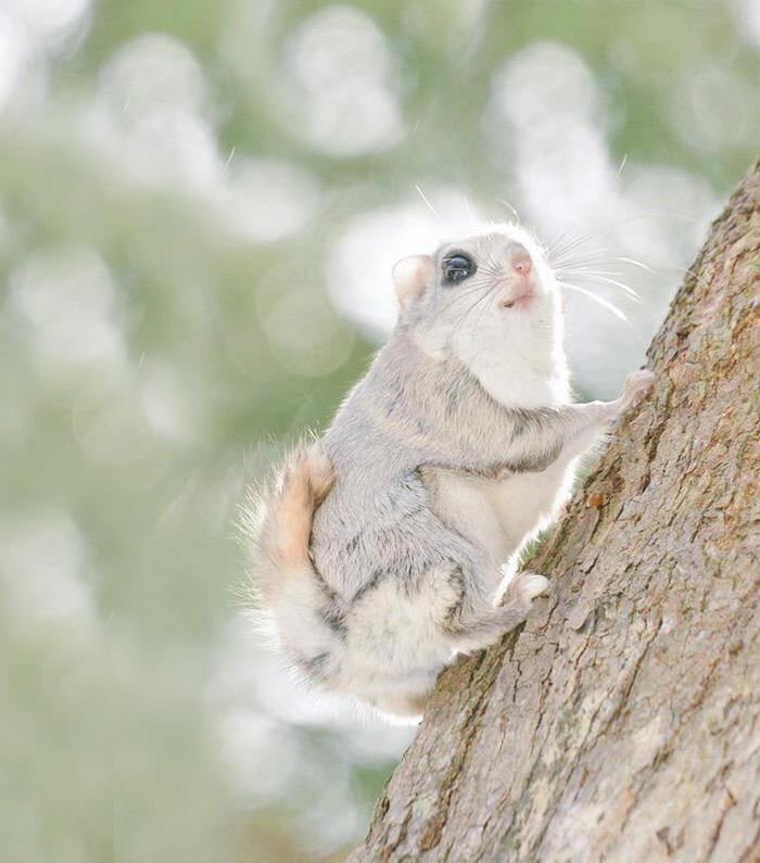 Estas Raras Ardillas Voladoras son los animales más Bonitos del mundo!