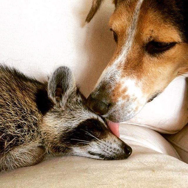 Conoce a la Bebé Mapache rescatada que ahora cree ser un Perro