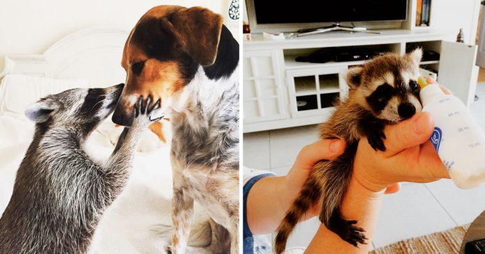 Bebe mapache rescatado se piensa que es un perro banner