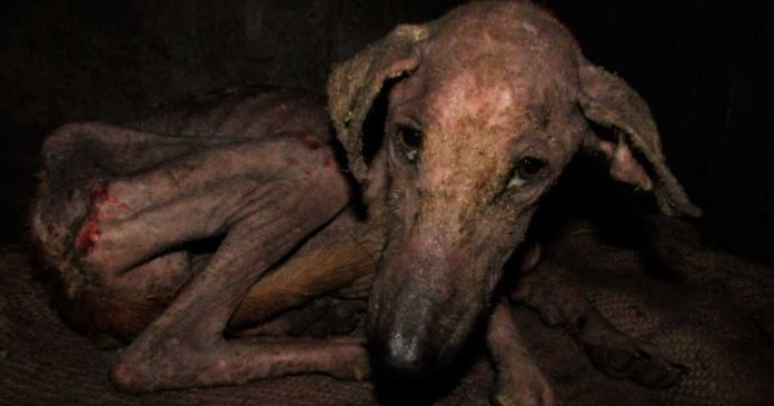 Mira la increible transformacion de un perro moribundo