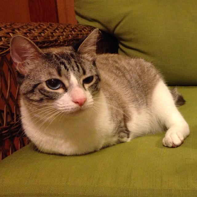 Roux, la gatita adoptada de dos patas que ha revolucionado las redes sociales