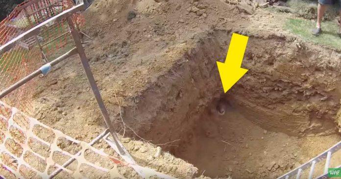 Dos adorables tejones cayeron en un pozo asi que bajaron para poder rescatarlos