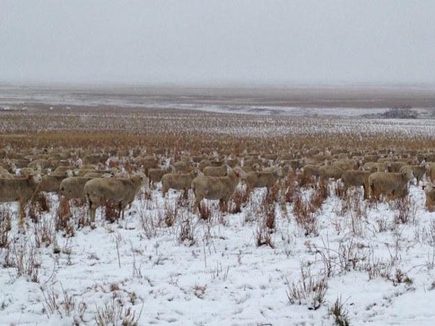 En este imagen hay mas de 500 ovejas escondidas 04