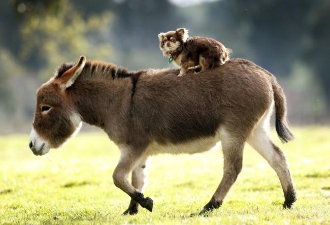 Esta familia tiene burros enanos en lugar de perros 09