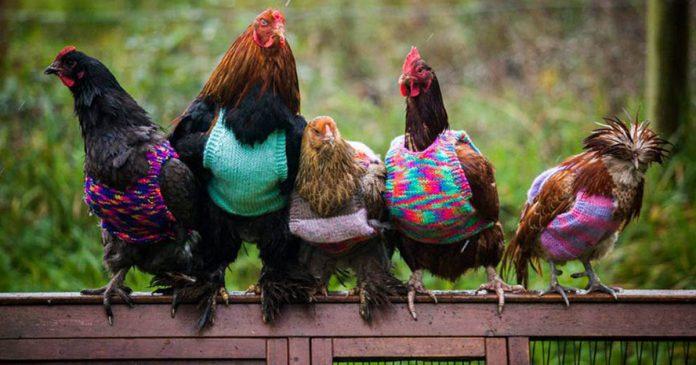 Esta mujer teje jerseys para las gallinas calentitas banner