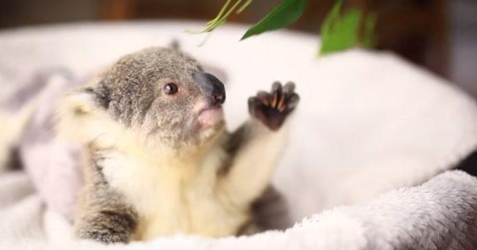 Este bebe koala esta de celebracion y le han grabado en este adorable video banner
