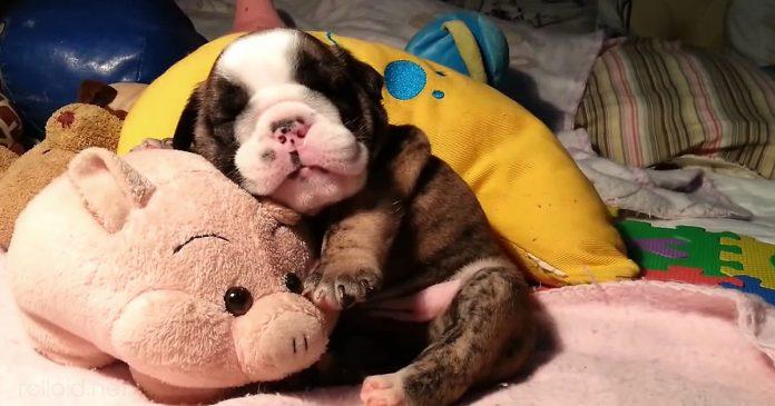 Este cachorrito de bulldog ingles roncando sera lo mas adorable q veas hoy banner