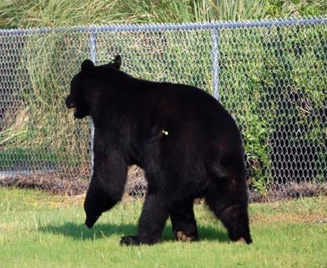 Este increible hombre arriesgo su propia vida para salvar a un enorme oso 02