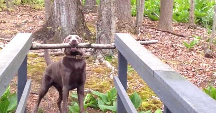 Este perro encontro una rama gigante y no iba a abandonarla su solucion te hara llorar de la risa banner