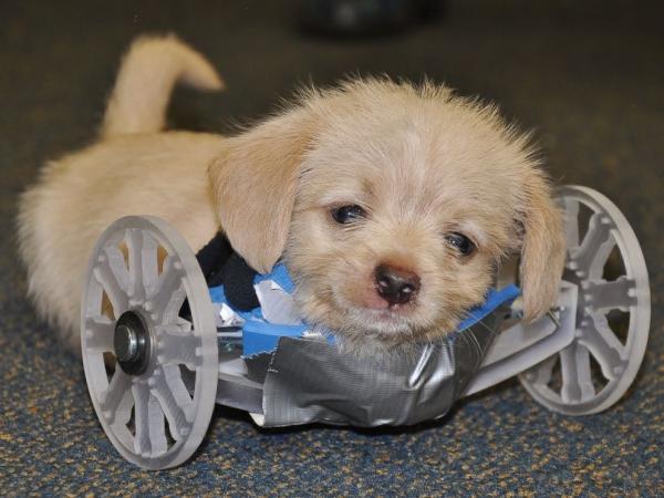 Este Cachorro nació con dos patas y ha conquistado el corazón del Mundo con su adorable espíritu