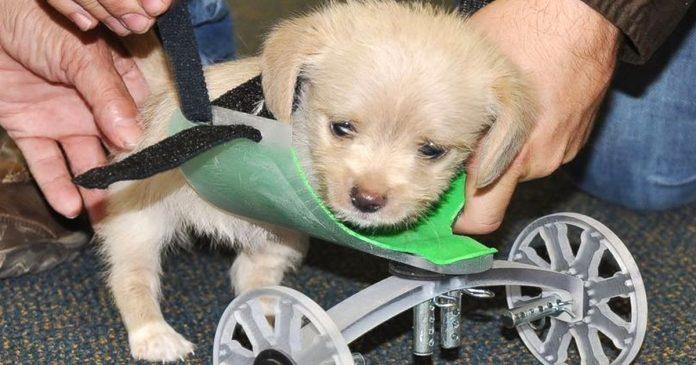cachorrito nacio con solo dos patas robado corazon mundo adorable espiritu banner