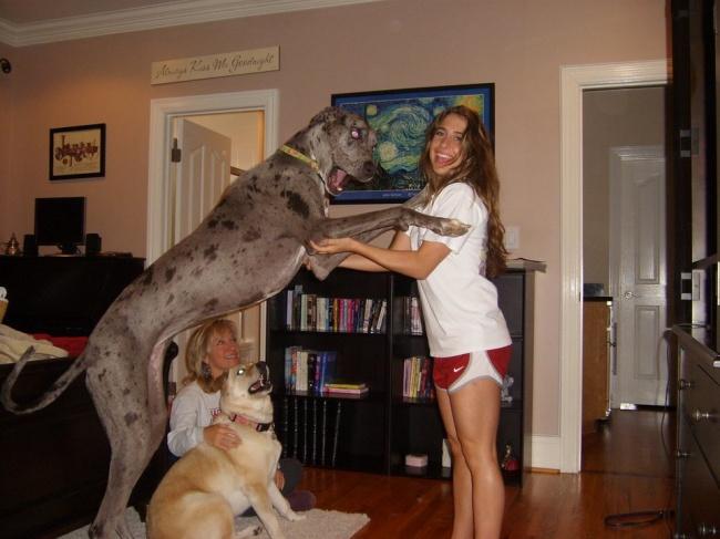 15 Gigantescos Perros que no son conscientes de su ENORME tamaño