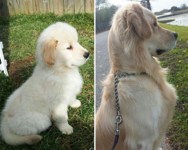 Cachorros que crecieron demasiado rapido 07