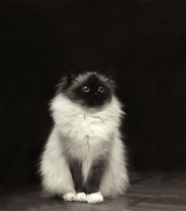Los gatos mas peludos del mundo 01
