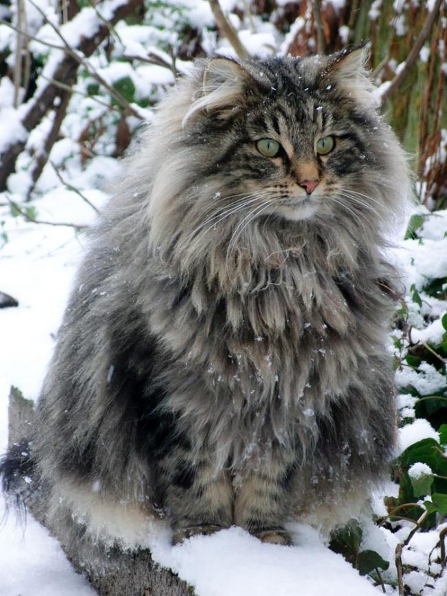Los gatos mas peludos del mundo 04