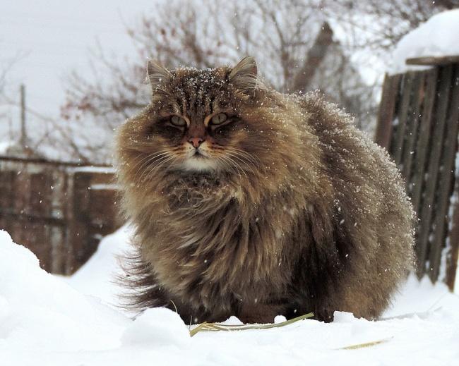 Los gatos mas peludos del mundo 07