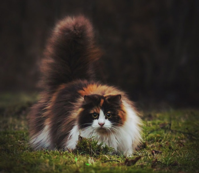 Los gatos mas peludos del mundo 08