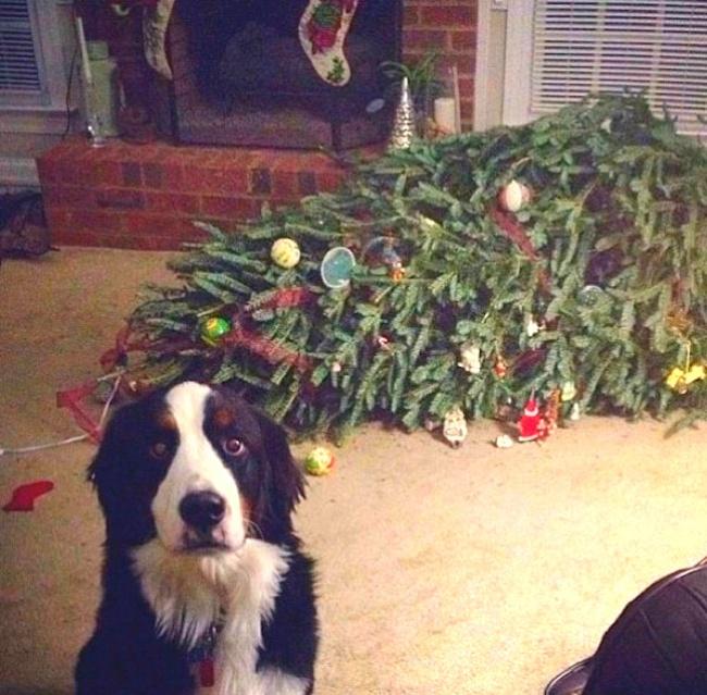 Perros y gatos que se enfrentaron a un arbol de navidad 01