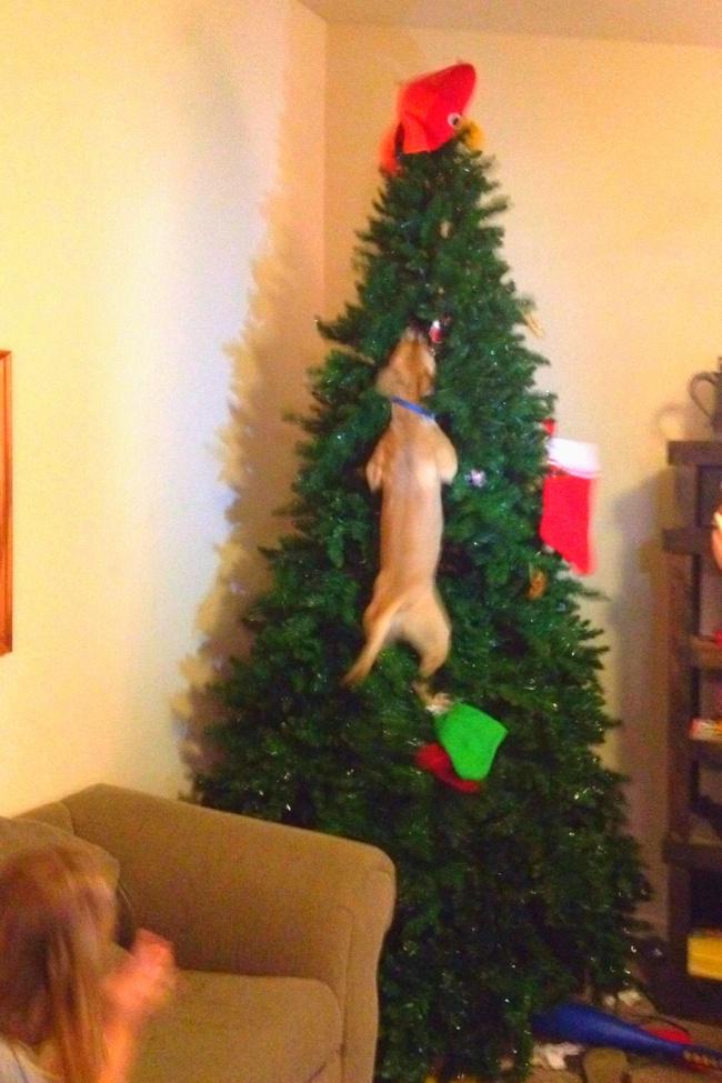 Perros y gatos que se enfrentaron a un arbol de navidad 05