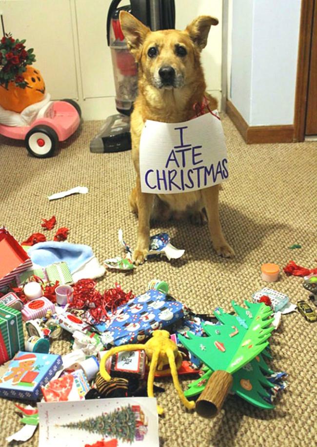 Perros y gatos que se enfrentaron a un arbol de navidad 08