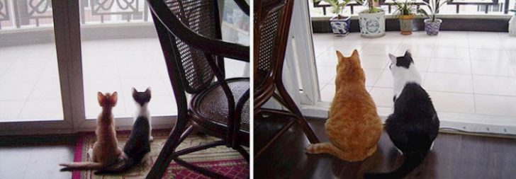 15 gatos que crecieron demasiado rapido 02