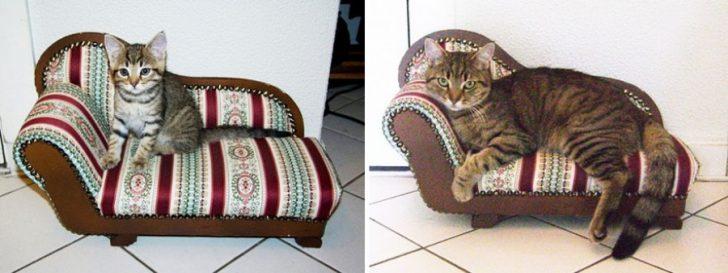 15 gatos que crecieron demasiado rapido 03