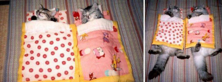 15 gatos que crecieron demasiado rapido 07