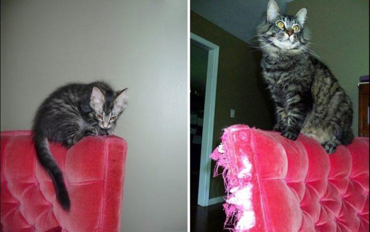 El antes y después de 15 Gatitos que crecieron demasiado Rápido