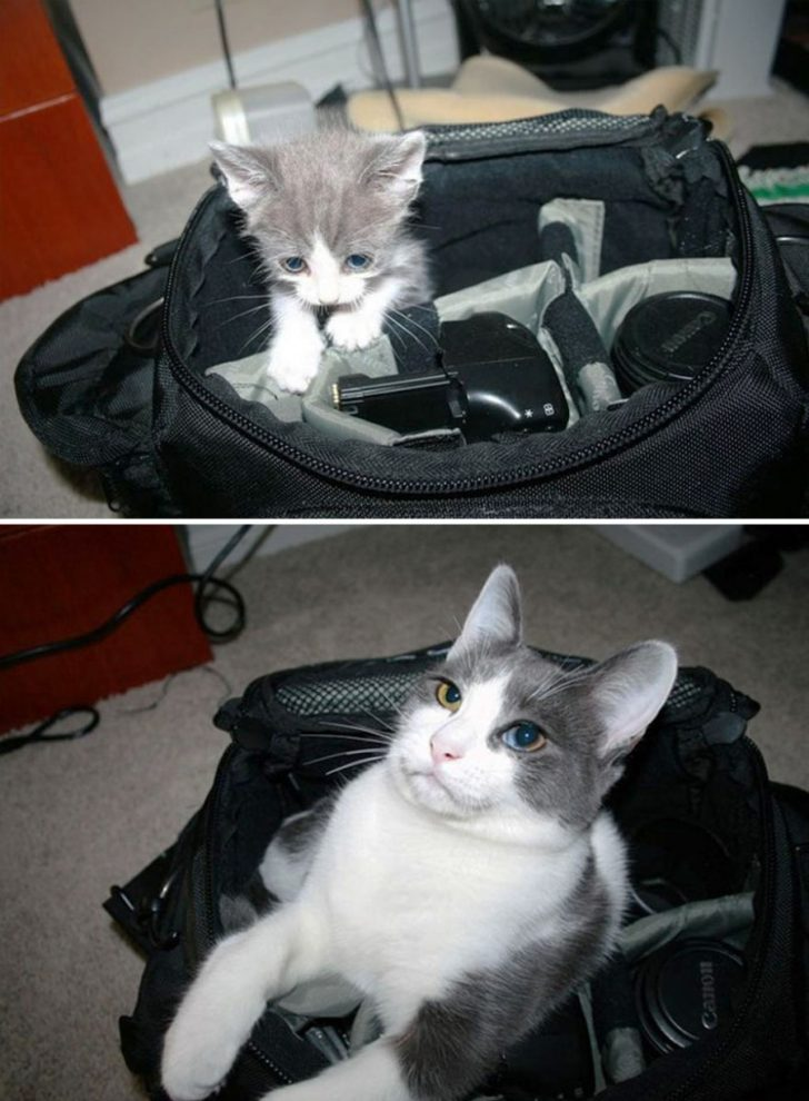15 gatos que crecieron demasiado rapido 11