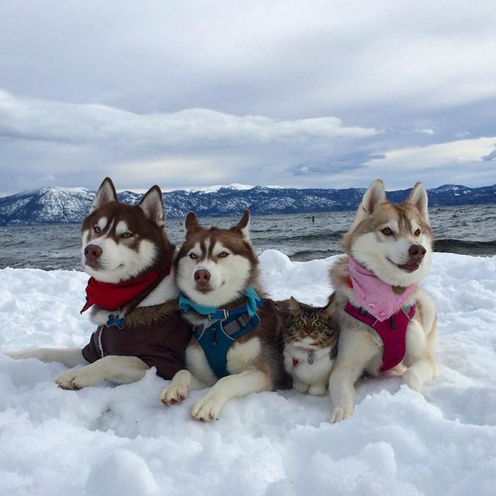 Amistad 3 huskies y gato 01
