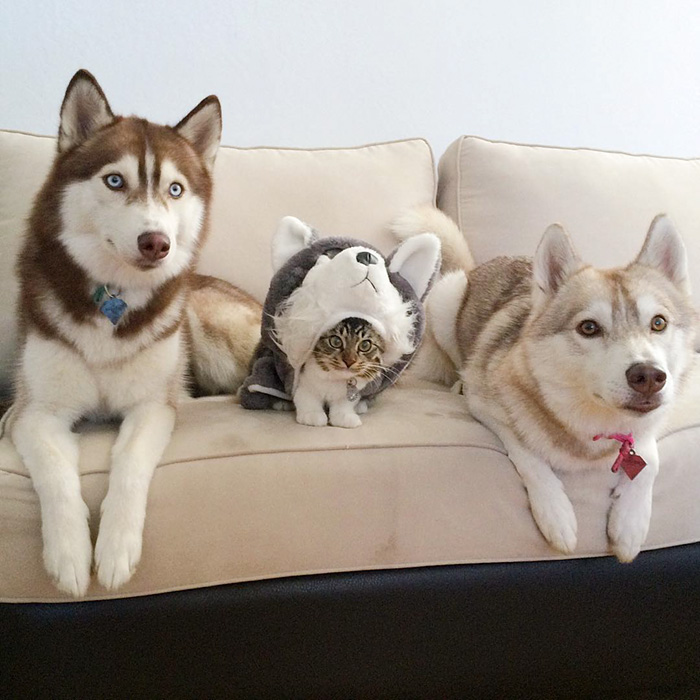 Amistad 3 huskies y gato 02