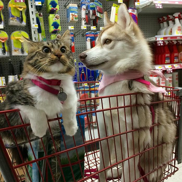 Amistad 3 huskies y gato 03