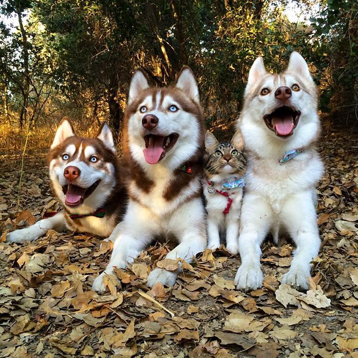 Amistad 3 huskies y gato 04