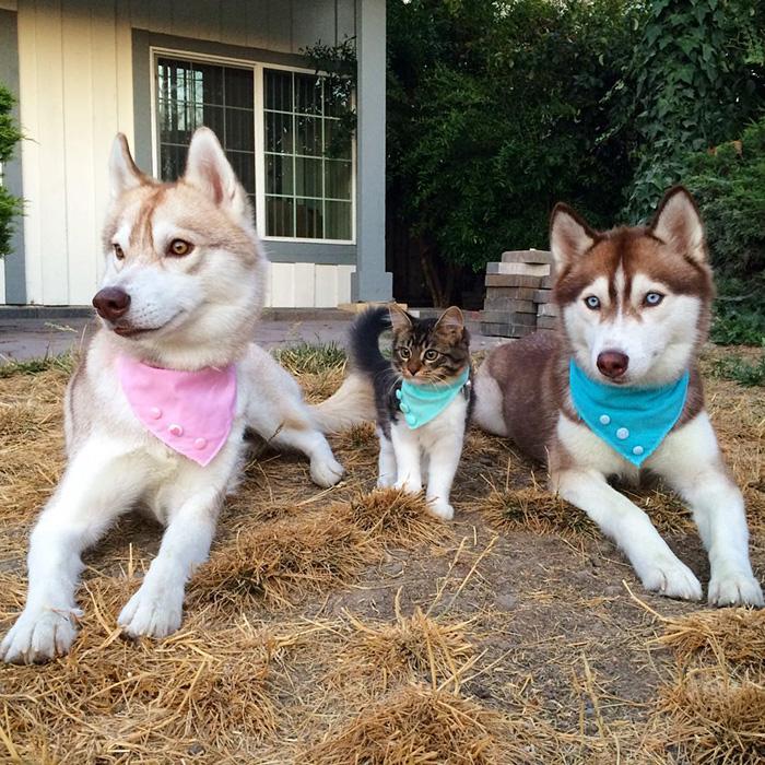Amistad 3 huskies y gato 07