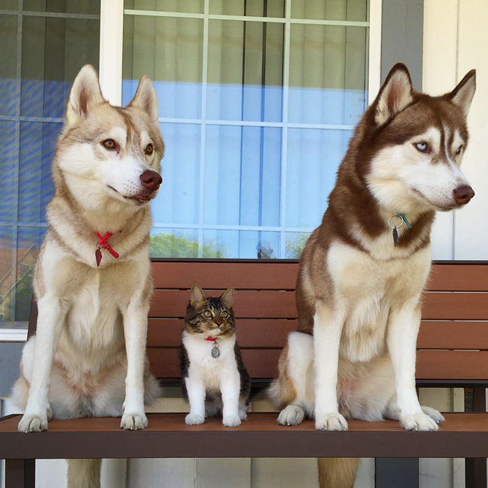 Amistad 3 huskies y gato 10