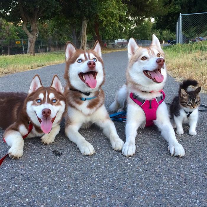Amistad 3 huskies y gato 13