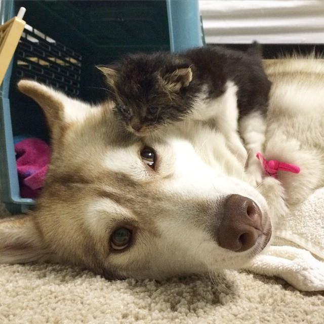 Amistad 3 huskies y gato 17