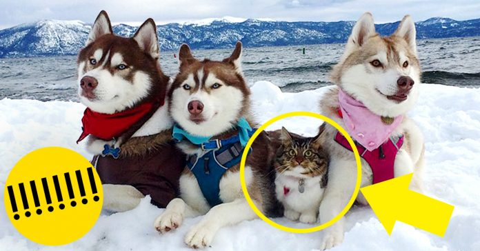 Amistad 3 huskies y gato banner